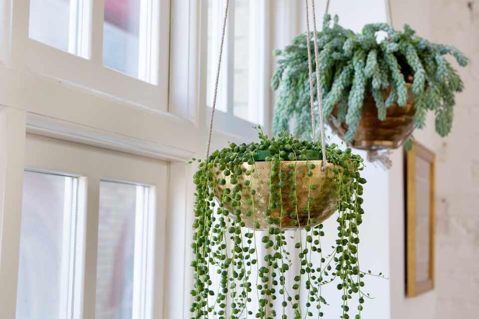 Hanging Ornamental Plants